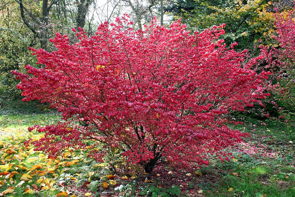Euonymus alatus 39 compactus 39 arboretum robet lenoir ren for Euonymus alatus