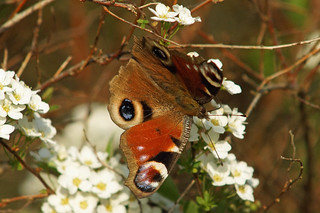 European Peacock  -  Aglais io | by manum.net - Photos from Manum Gård