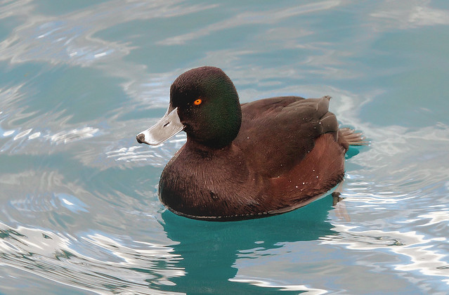 New Zealand Scaup.(Aythya novaeseelandiae)
