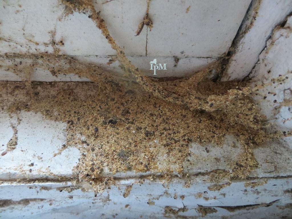 Carpenter ants leave sawdust outside the nest unlike