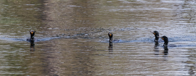 double-crested cormorants 099_368