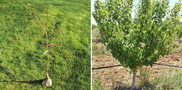 blenheim-apricot-tree-stages