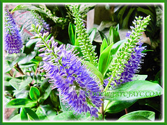 Uraria crinita (Cat's Tail Plant, Asian Foxtail) flowering beautifully in abundance, 3 Nov 2013
