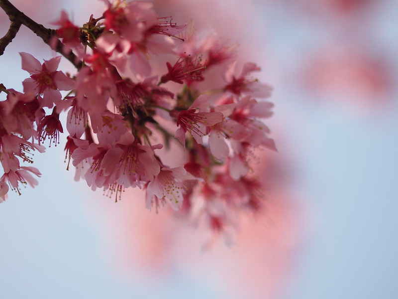 早咲きの桜 Early blooming cherry blossom ~ fading into