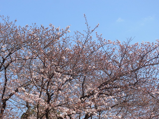 Another big Somei-yoshino tree