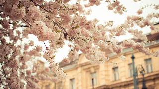 Cherry Blossom! | by Charlotte90T