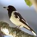 Pied Butcherbird 130614 Cracticus nigrogularis