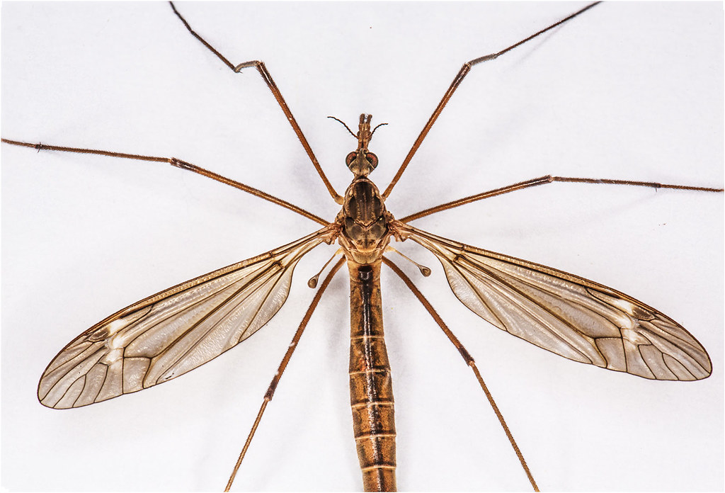 Cranefly Family Tipulidae Genus And Species Unknown
