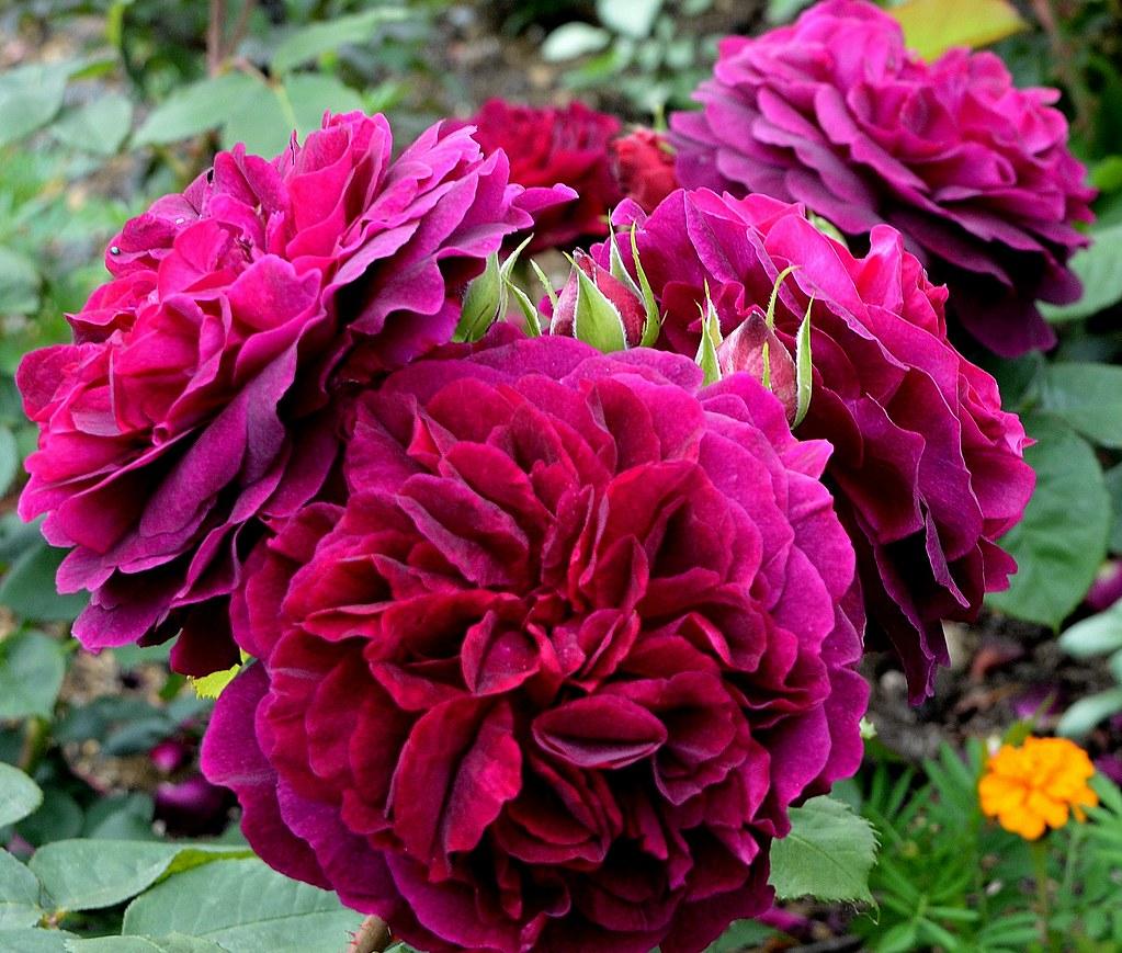 roses munstead wood david austin rose kevin wood flickr. Black Bedroom Furniture Sets. Home Design Ideas