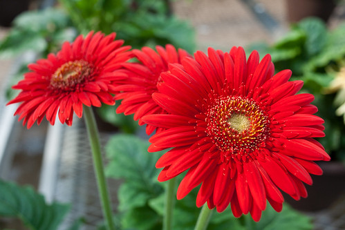 Gerbera Daisy | by heightsfidelity