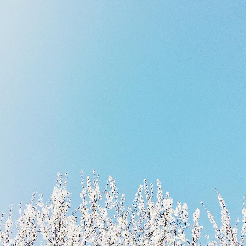 De bomen in de straat krijgen steeds meer bloesem #tree #bloesem #blossoms #minimalism #rsa_minimal #tv_simplicity #iphone #snapseed
