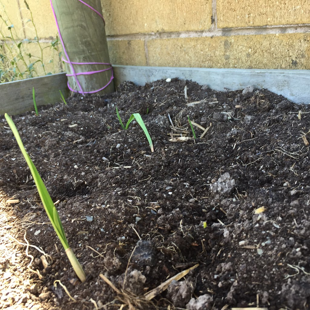 green garlic shoots coming through the soil