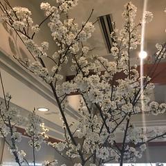 3月31日 店内の桜