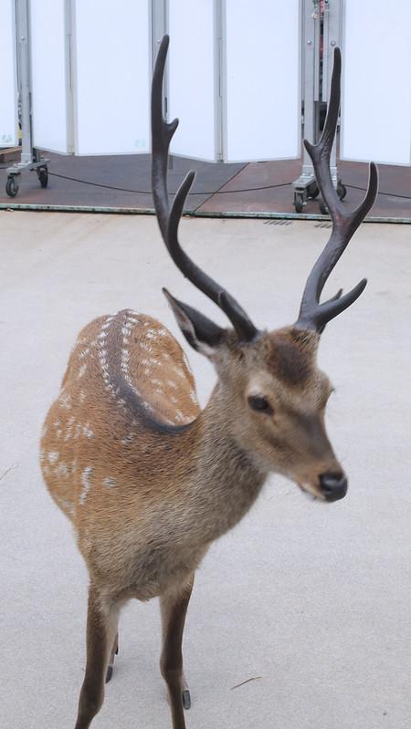 deer-hiroshima