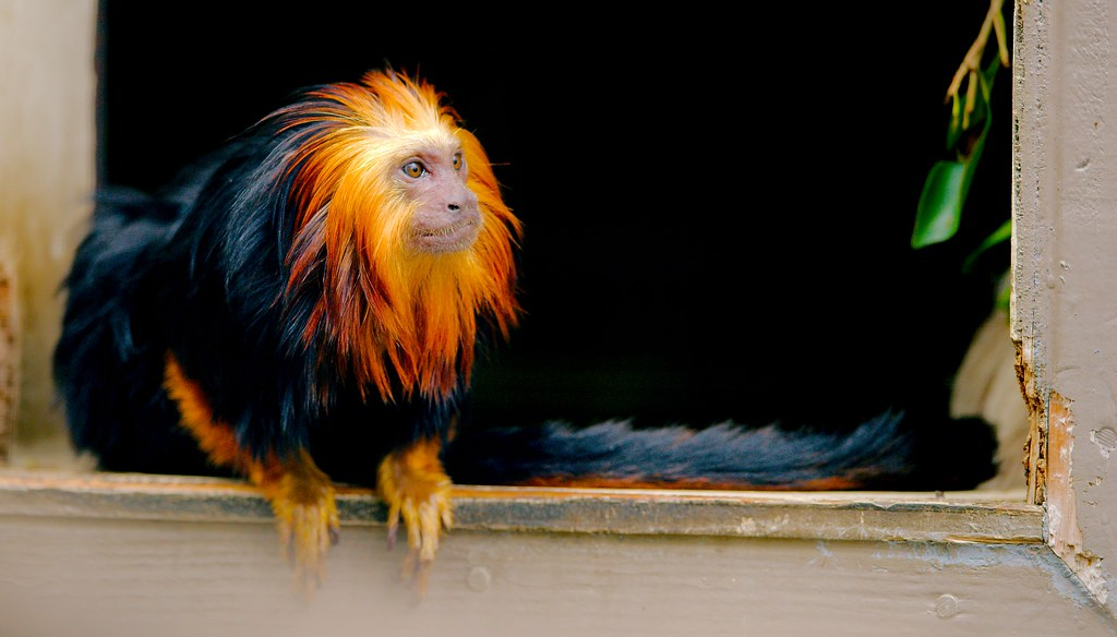 Golden Headed Lion Tamarin_4
