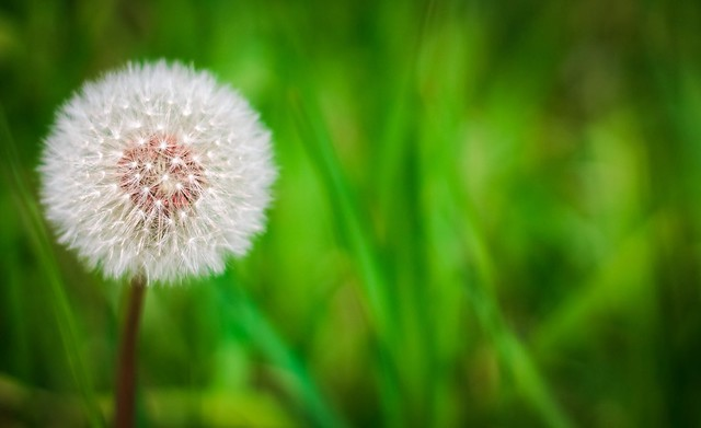 Dandelion make a wish and blow it flowers flower Flowers that make you happy
