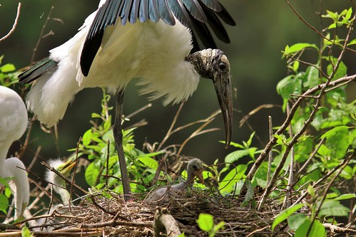 Wood stork shading a chick | by USFWS/Southeast