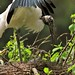 Wood stork shading a chick