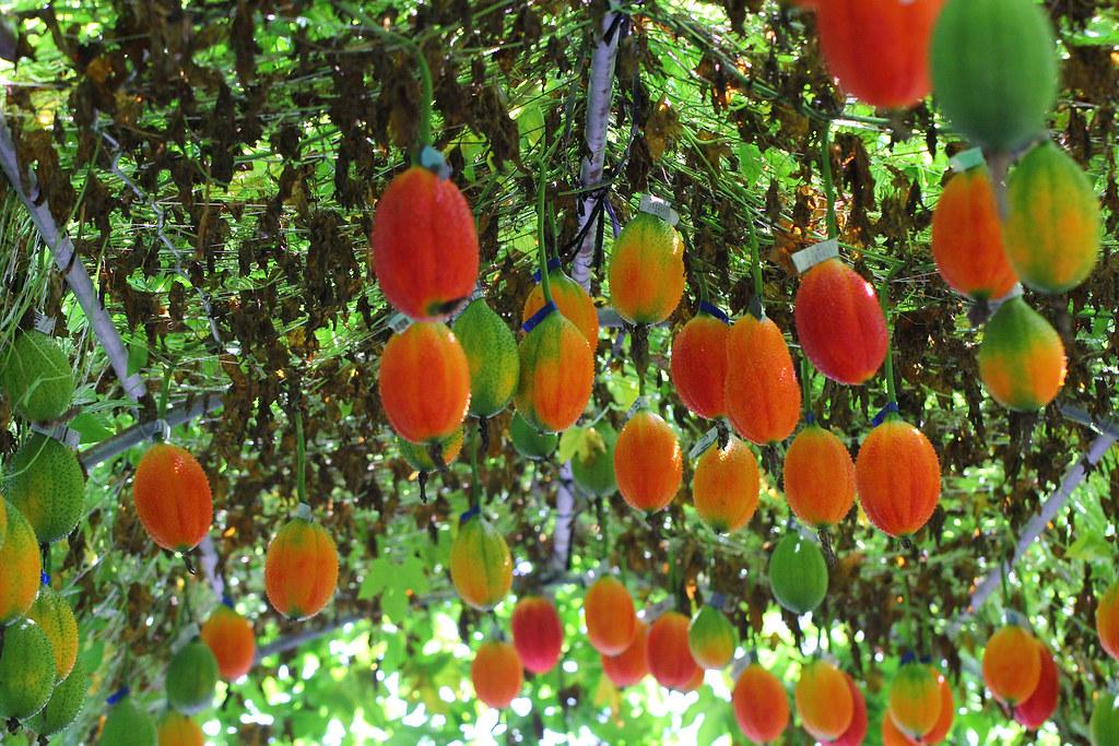 原生種木虌果果實轉色後,橙紅鮮豔,兼具觀賞價值。圖片來源:台東農改場。