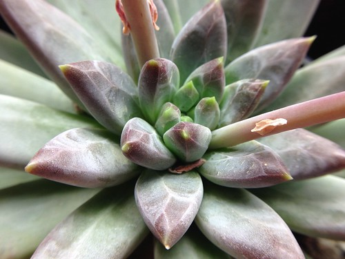 Pachyveria 'Little Jewel'