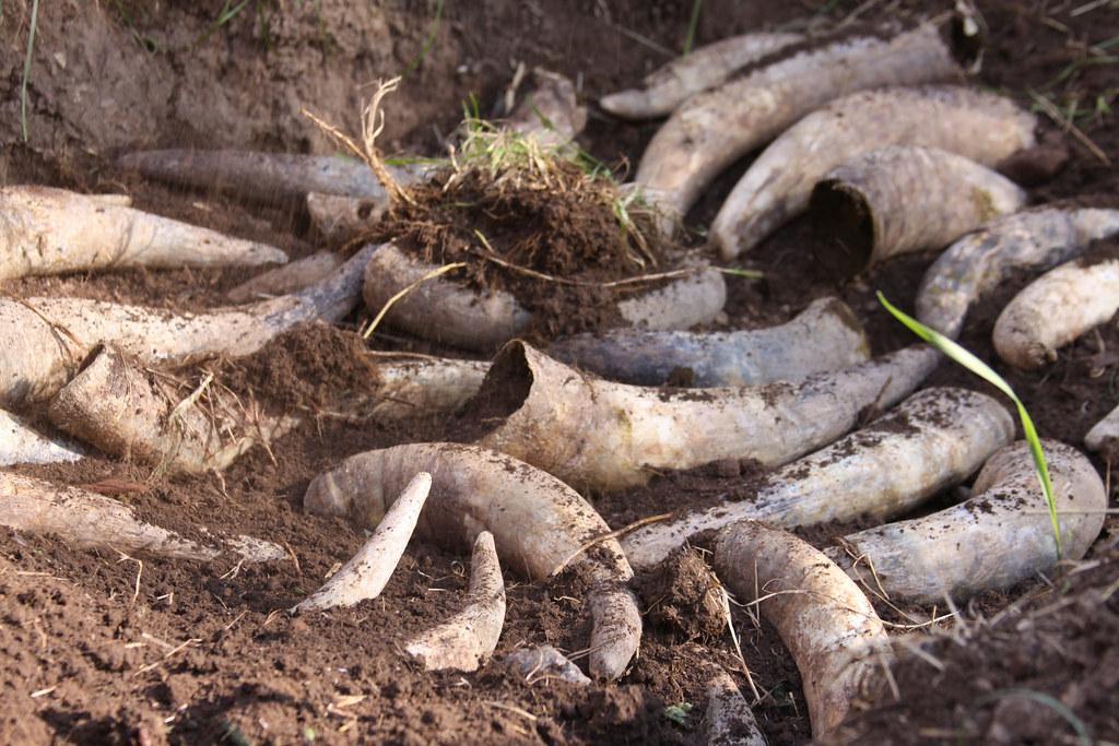BD農法其中一個作法,會將牛糞填入牛角,埋入土裡。圖片來源:theamaria(CC BY 2.0)