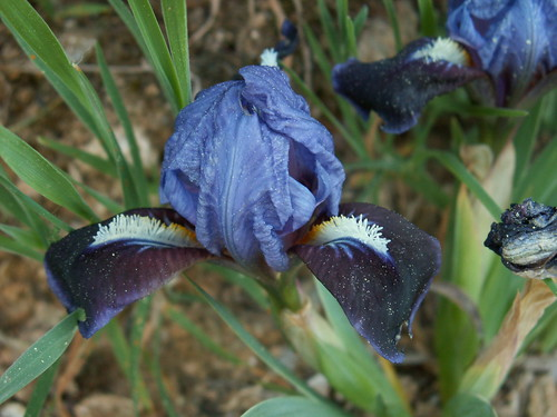 Iris 'Blue Beret' - Earl Roberts 1966 33868503532_b0e99db3d3