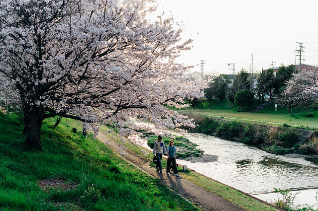 CherryBlossoms_21