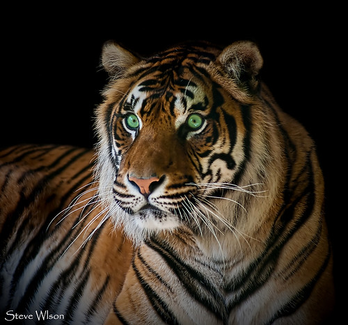 Just a green eyed Tiger | Just bored and messing around ...
