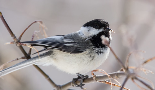 Black-capped Chickadee with deformed bill