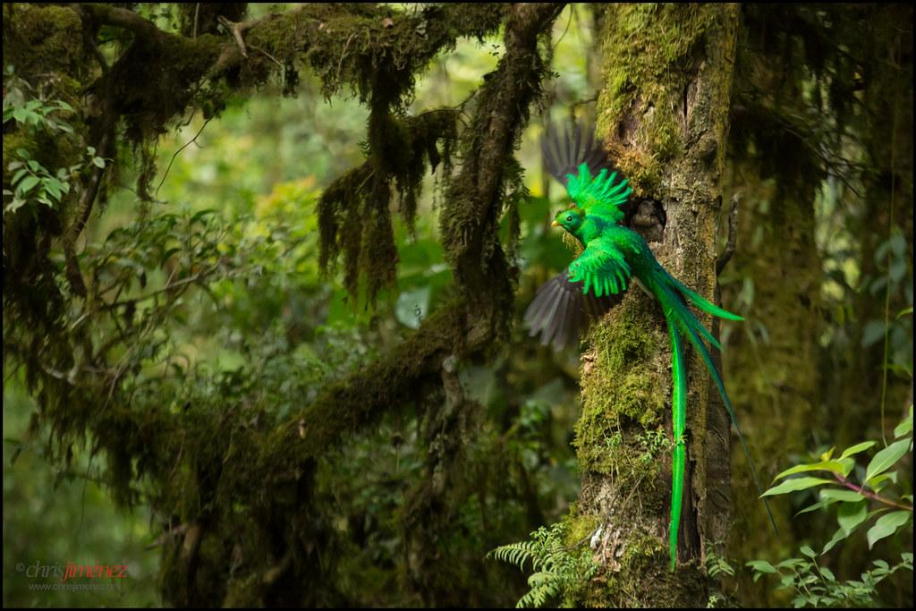 Resplendent Quetzal Pharomachrus Mocinno Feeding Chick I