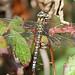 Southern Hawker (Aeshna cyanea), by Peter Alfrey