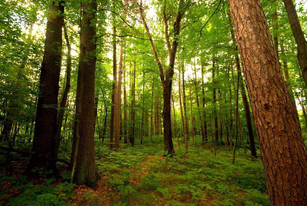 Pine Forest | Fish Lak...