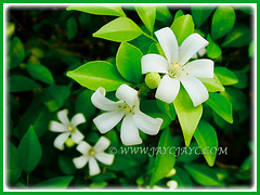 Murraya paniculata (Orange Jessamine, Chinese Box, Mock Orange) with absolutely divine fragrant flowers, 1 Aug 2009