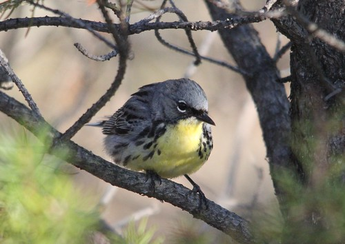 Kirtland's Warbler | by Birding In New Jersey