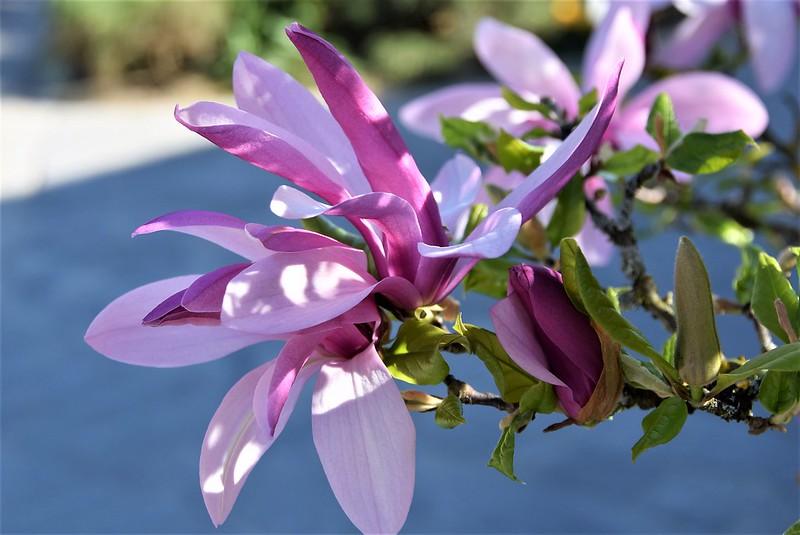 Magnolia 09.04 (1)