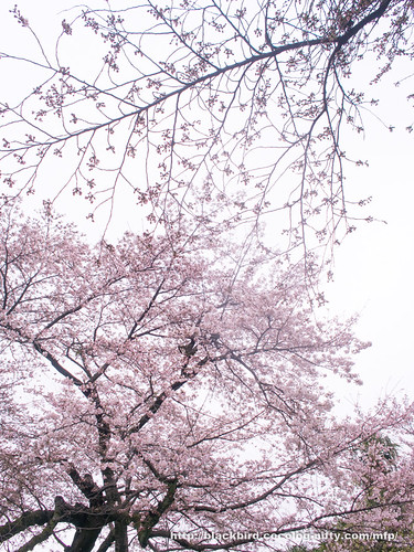 Cherry blossoms 20170407 #05