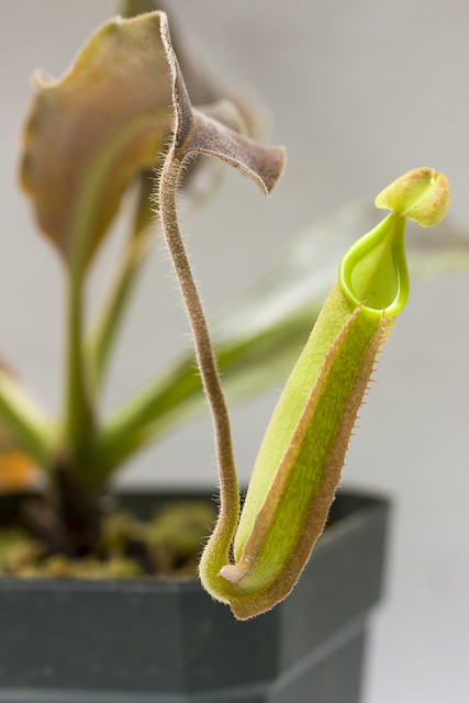"Nepenthes maxima ""Wavy Leaf"" BE"