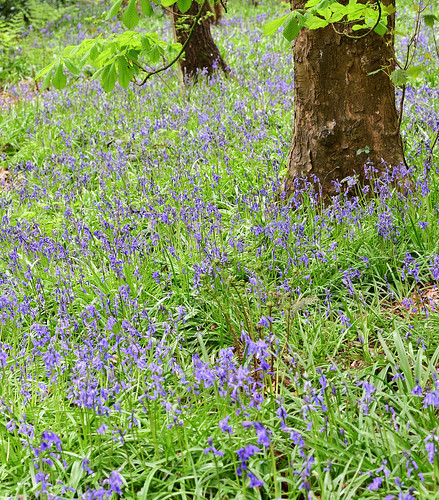 English Bluebells | by Man with Red Eyes