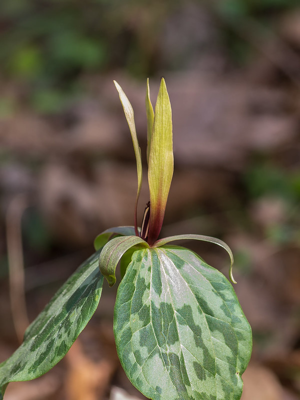 Undescribed Trillium species