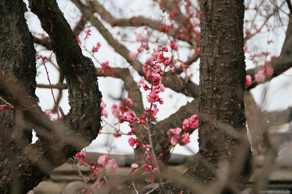 32686761554 9d593aca2a b - Seoul-ful Spring 2016: Greeting the first blooms at Changdeokgung Palace