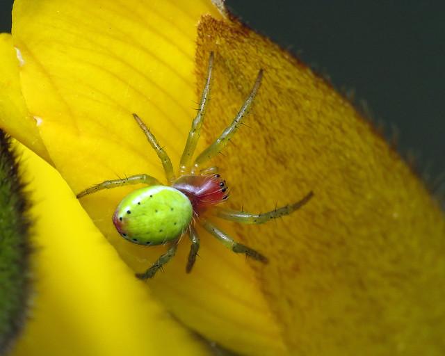 Cucumber Spider - Araniella cucurbitina sensu lato