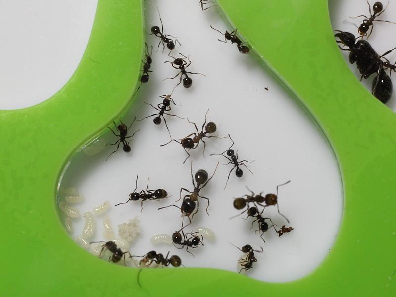 Формикарий с муравьями Messor structor
