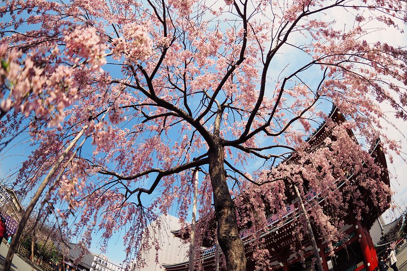櫻花 Cherry Blossom|淺草寺