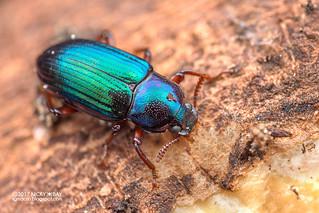 Darkling beetle (Tetragonomenes cf. schawalleri) - DSC_3519