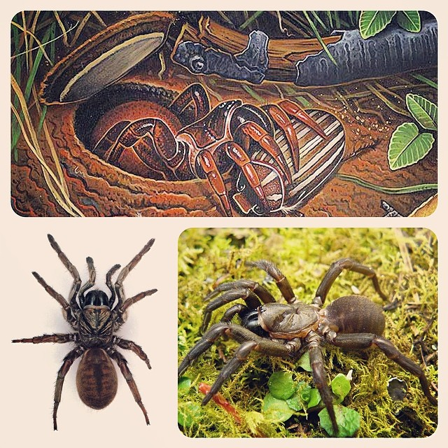 Trapdoor Spiders Bite: Trapdoor Spiders (superfamily Ctenizoidea, Family Ctenizid