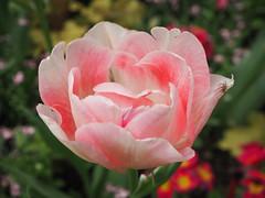 Tulipa rosada per Teresa Grau Ros a Flickr