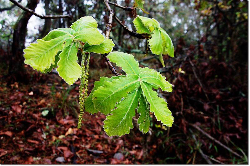 槲樹嫩葉及雄花序