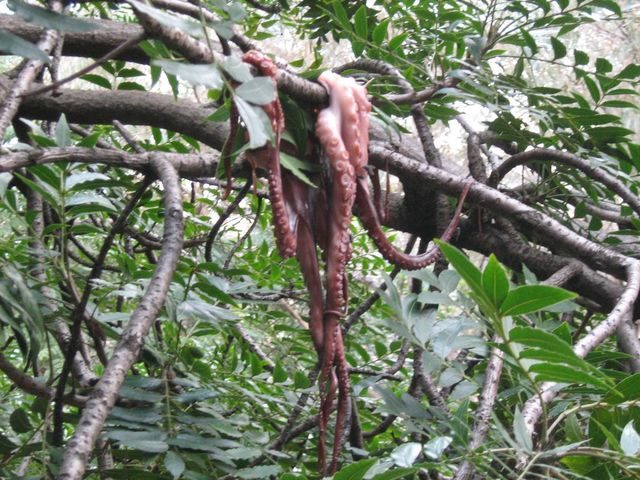 Image result for pacific northwest tree octopus