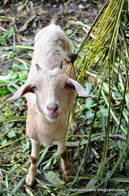 halfwhiteboy - the farmhouse in aloguinsan cebu 13
