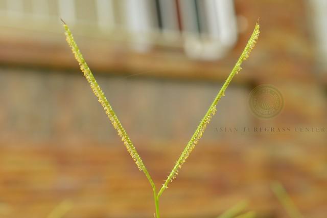 inflorescence of Paspalum conjugatum